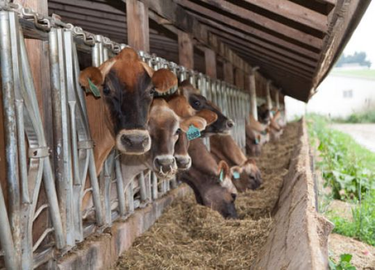 Sorting Profits: Cows are Picky Eaters