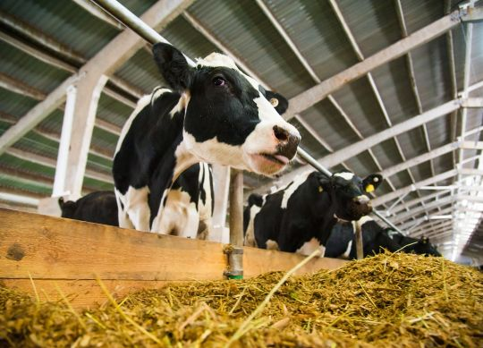 Milk Fat Recovery Rate After Ration-Related Changes