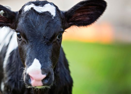 5 Tips to Help Calves Beat Summer Heat
