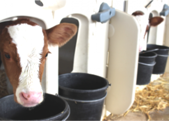 Optimize Starter Ration Management for a More Successful Calf Program