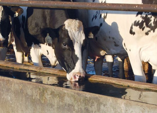 Dairy Cows Need Lots of Water to Produce Milk