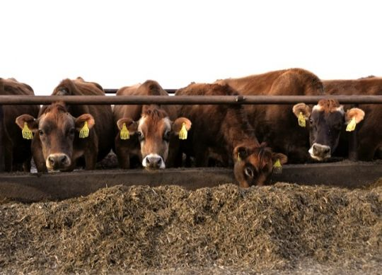Feeding dry cows the Goldilocks Diet
