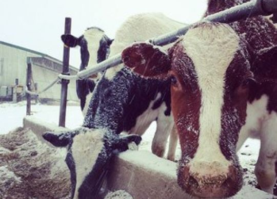 Caring for the Lactating Dairy Herd in Extreme Cold
