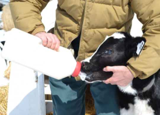 4 Tips to Jump-Start Your Winter Calf Feeding Program