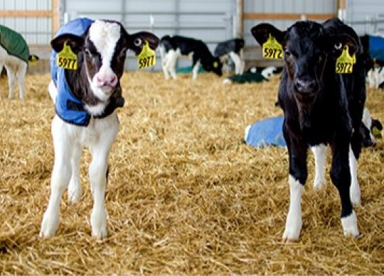 Group Housing Systems for Calves