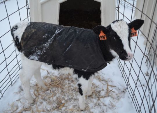 Winter Calf Health