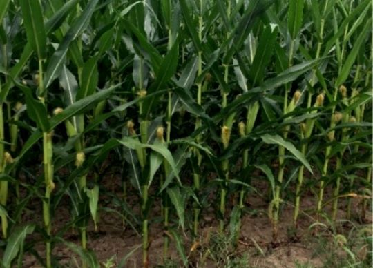 Dealing with 2019 Corn Silage Crop