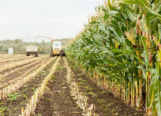 Tips for Harvesting Low Dry Matter Corn Silage