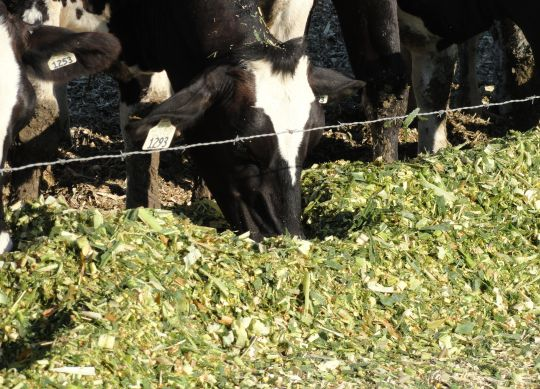 Factors Controlling Silage Quality