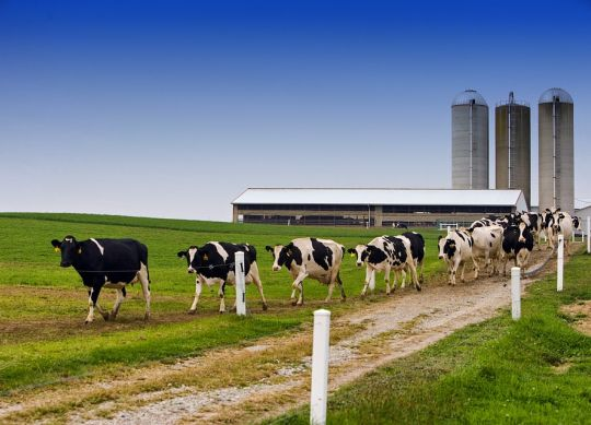 dairy cows and farms are growing.
