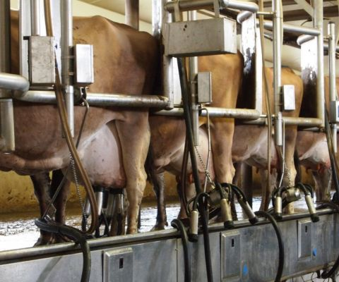 Jersey cows getting milked.