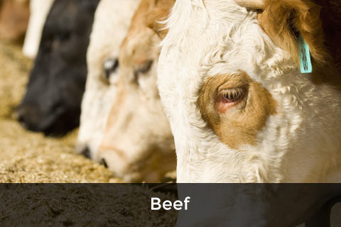 Beef Cattle Feed