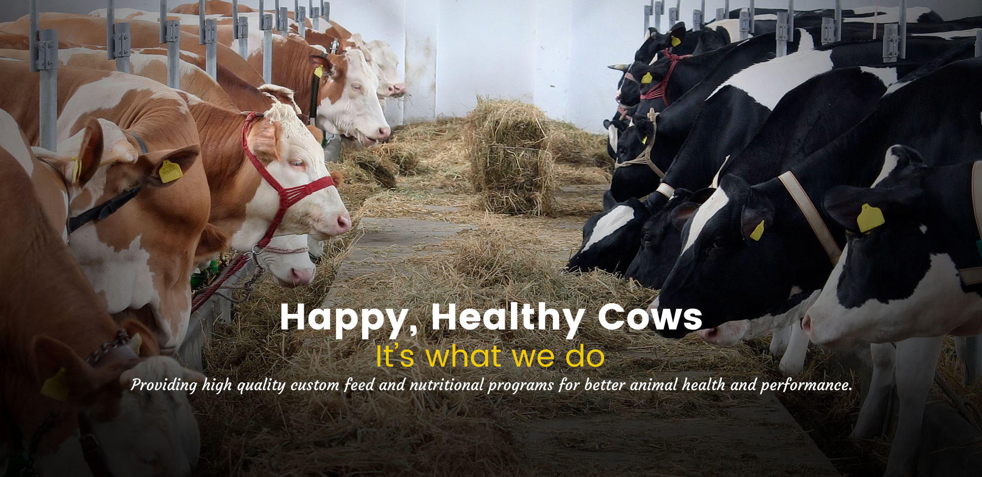 Happy, Healthy Cows